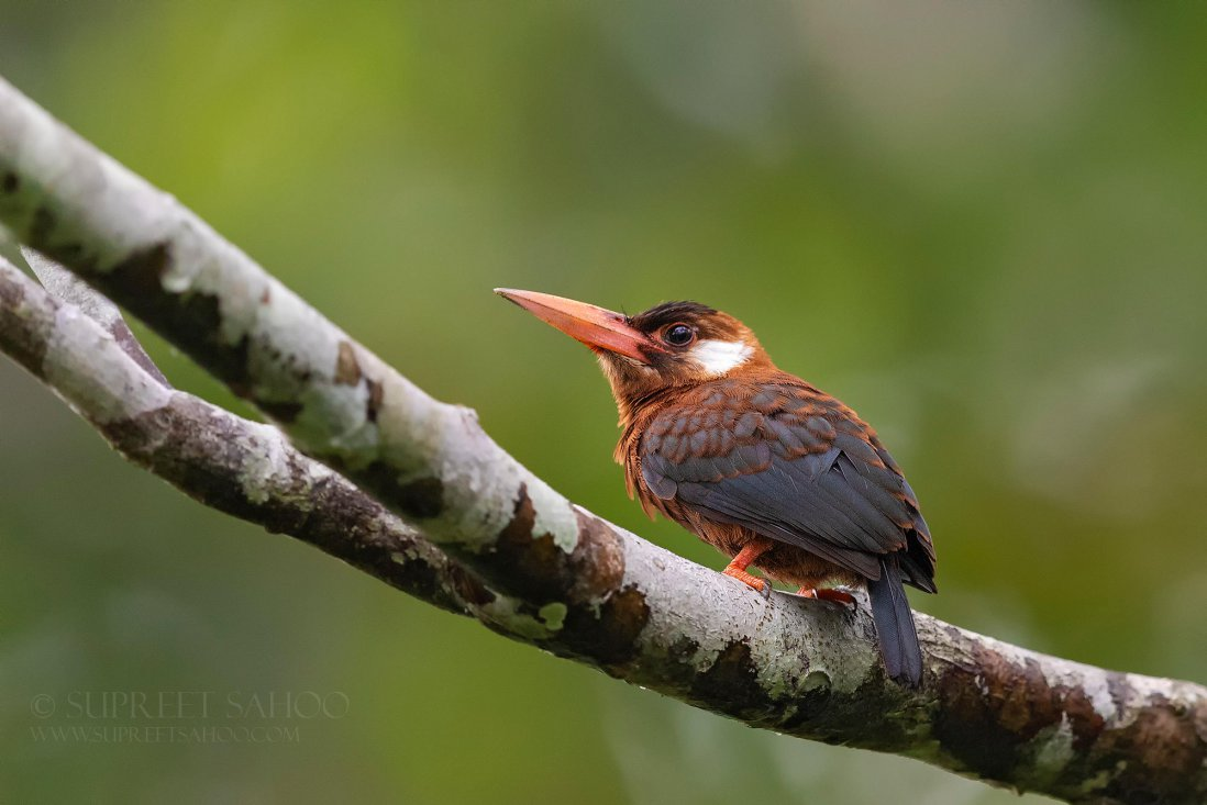 Ecuadorian Amazon bird photo tour trip report