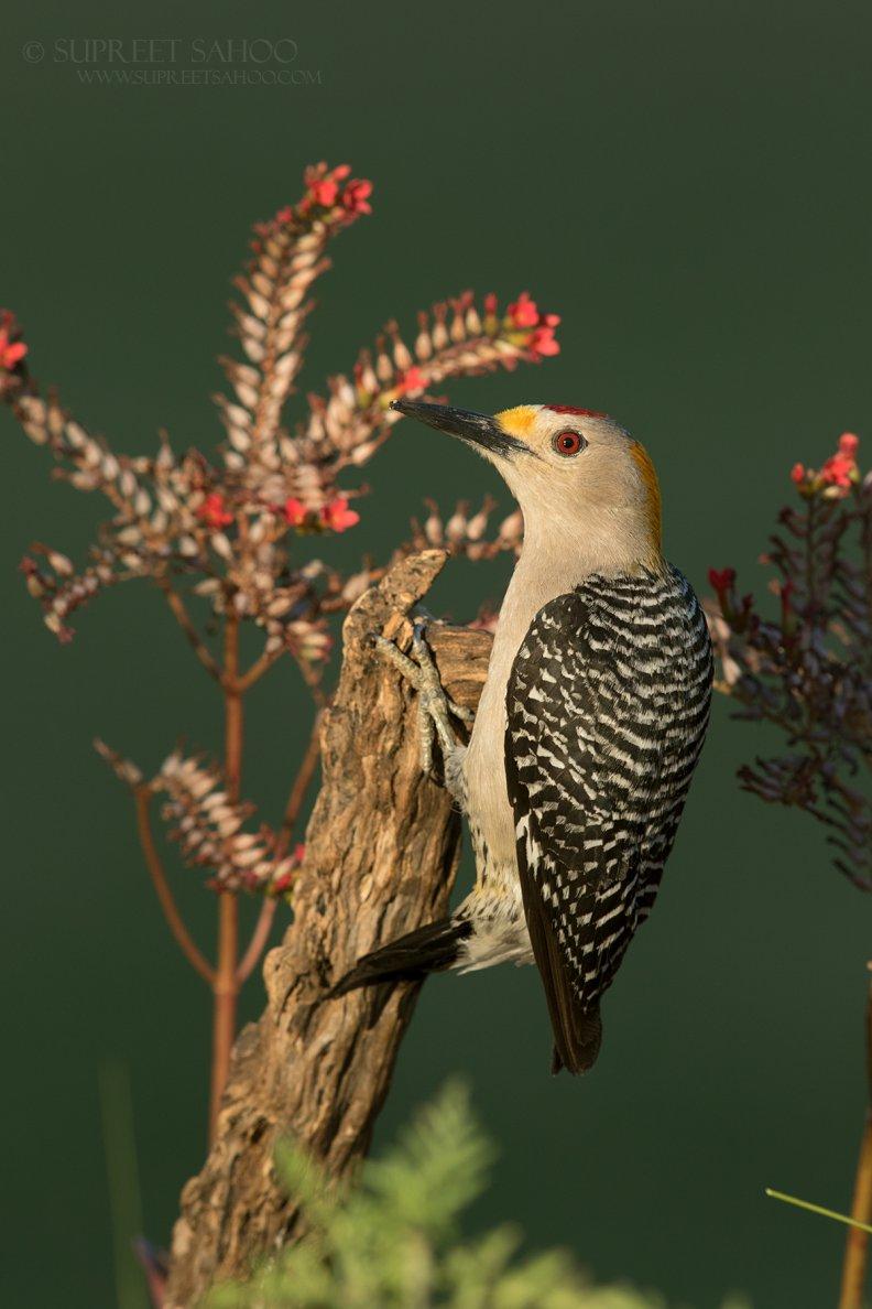 Tropical Photo tours- Best Texas bird photo tours
