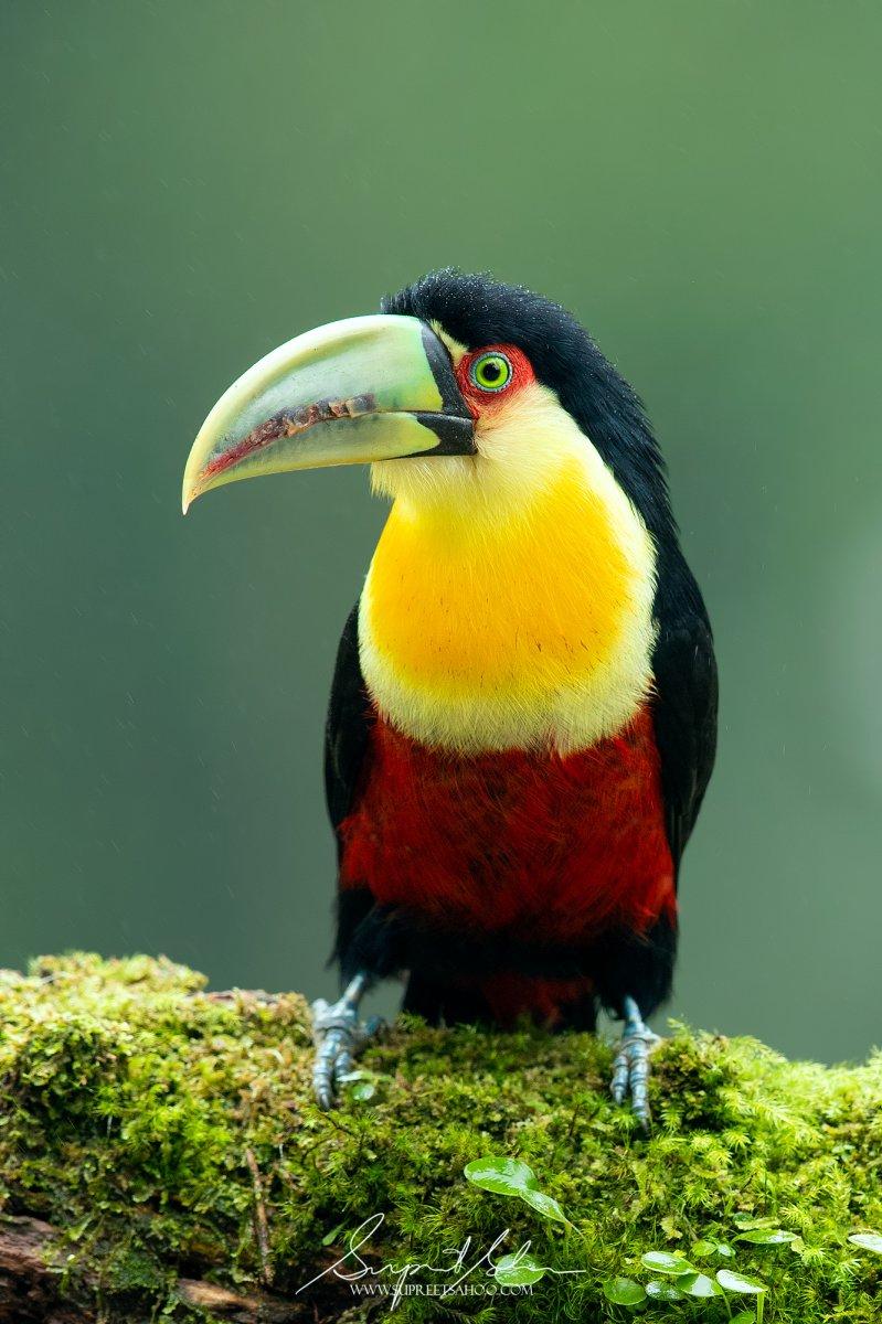 Tropical Photo tours- Best Brazil bird photo tours