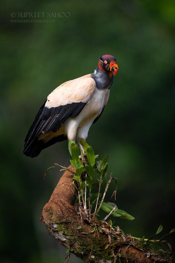 Tropical Photo tours- Costa Rica bird photo tours