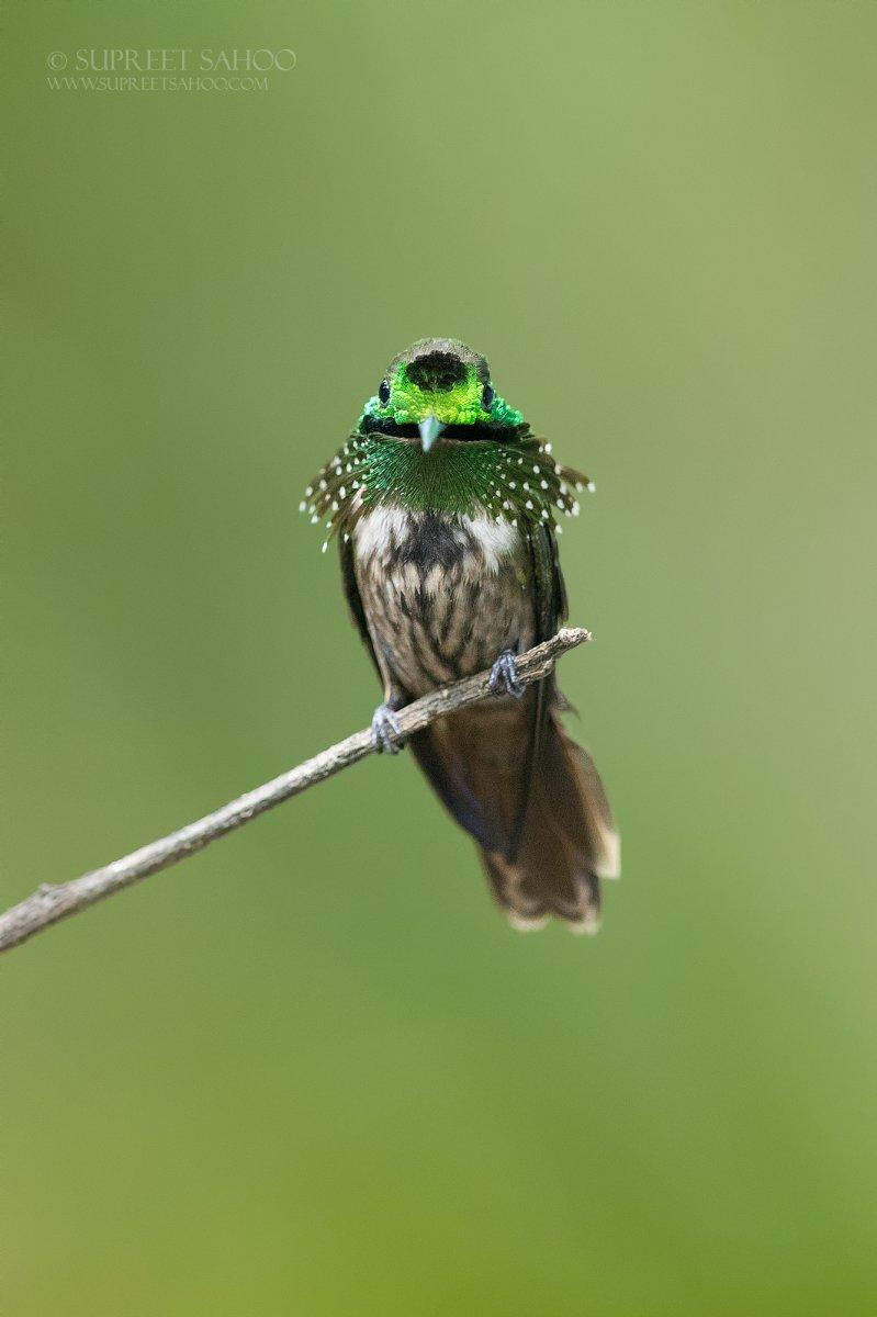 Brazil Bird Photo Tour