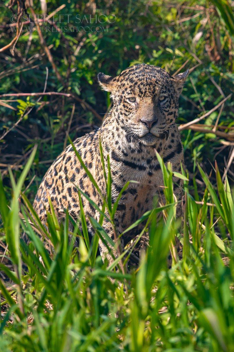 Brazil Jaguar Photo Tour- Tropical photo tours
