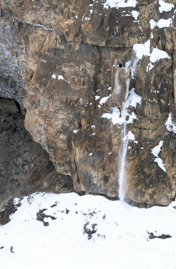 Tropical Photo tours- Best Snow leopard photo tours