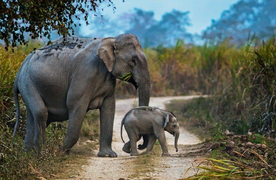 Copy of Elephant Kaziranga_