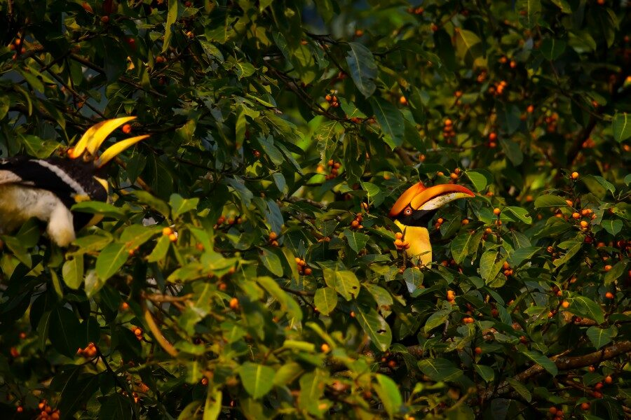 Copy of Great hornbill Kaziranga_