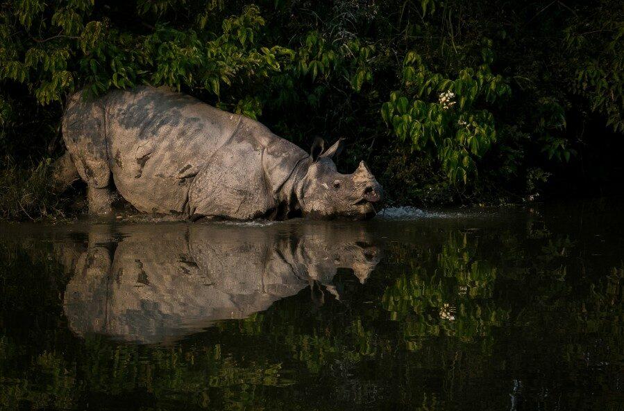 Copy of One horned RHino Kaziranga_