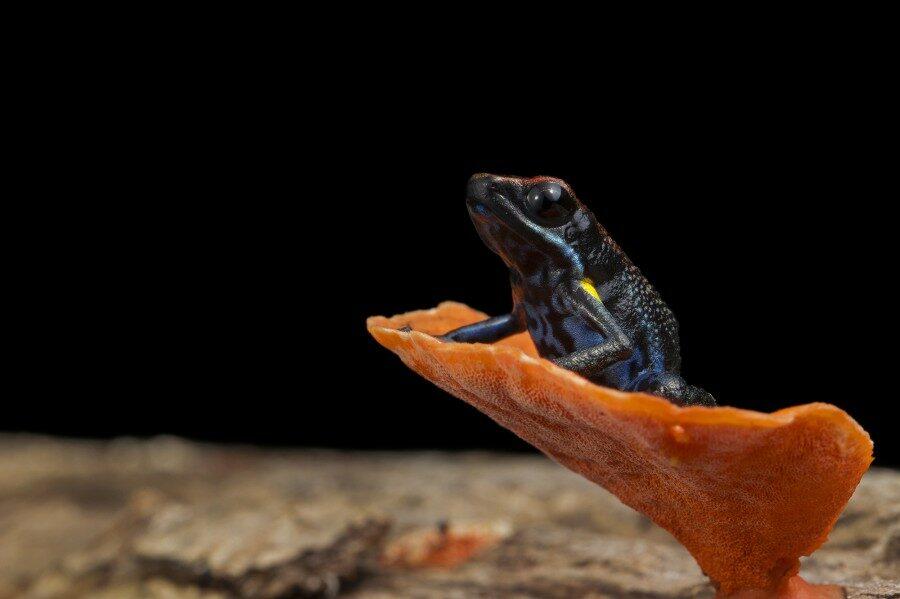 Neoselva-Ameerega-bilinguis-Ecuadorian-poisonfrog-HQ_tropicalphototours