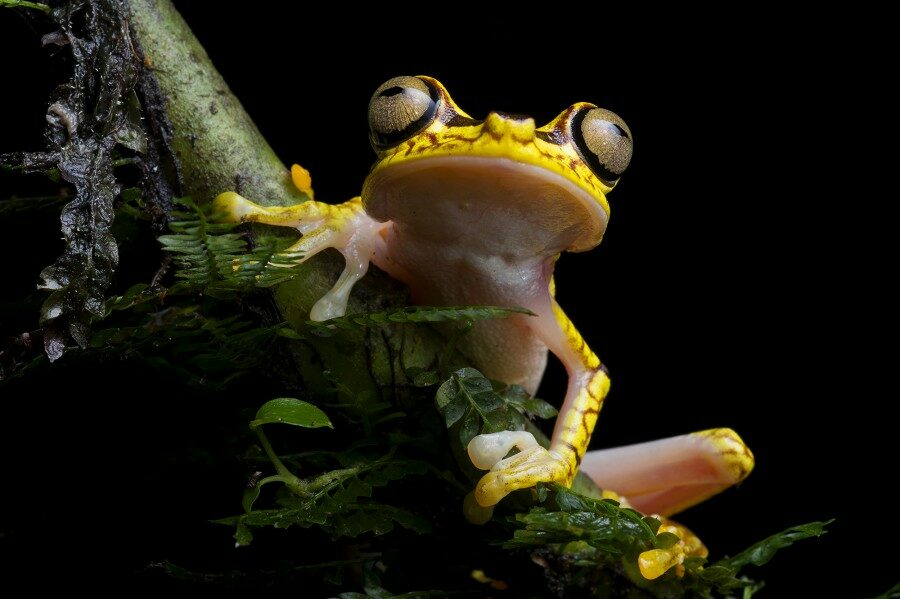 Neoselva-Boana-picturata-neo-treefrog-HQ_tropicalphototours