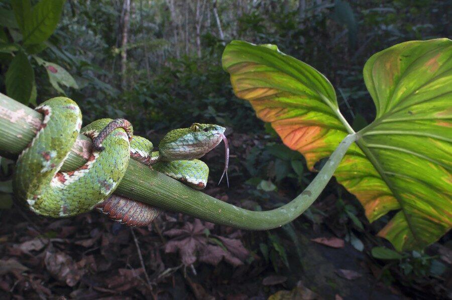 Neoselva-Bothriechis-schlegelii-Eyelash-pitviper-HQ_tropicalphototours