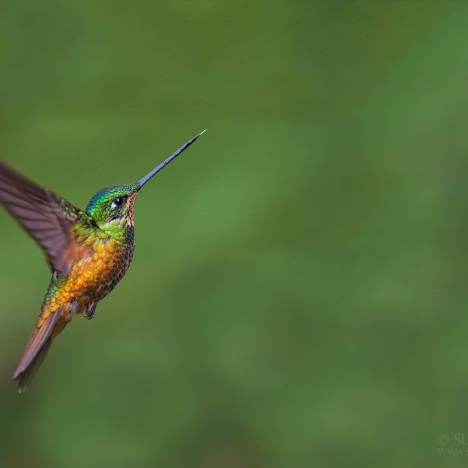 Best time of the year for visiting Ecuador and doing the bird tour preparation - Tropical photo tours - golden - bellied starfrontlet